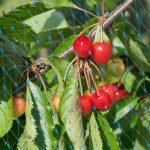 Siatka na drzewa owocowe - najskuteczniejsza ochrona przed ptakami
