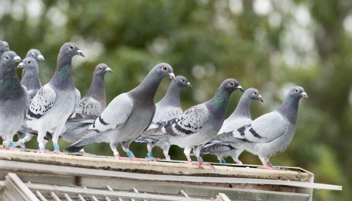 Woliera dla gołębi pocztowych