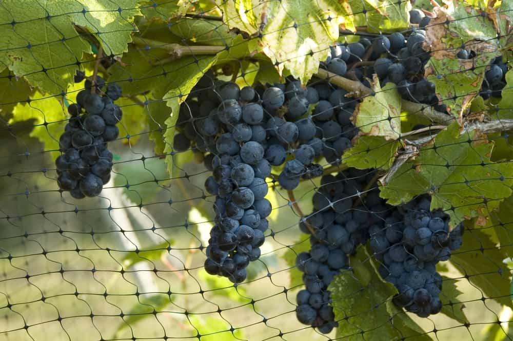 Jaką siatkę wybrać do ochrony winogron - Sieci-siatki.pl