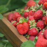 Siatki na plantację truskawek, borówek i agrestu – zabezpieczenie owoców