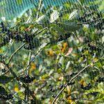 Siatka na plantację śliwek – skuteczna ochrona owoców
