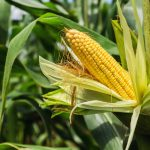 Siatki przeciw ptakom na uprawy kukurydzy