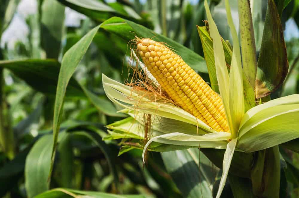 Siatka na kukurydzę - sieci siatki