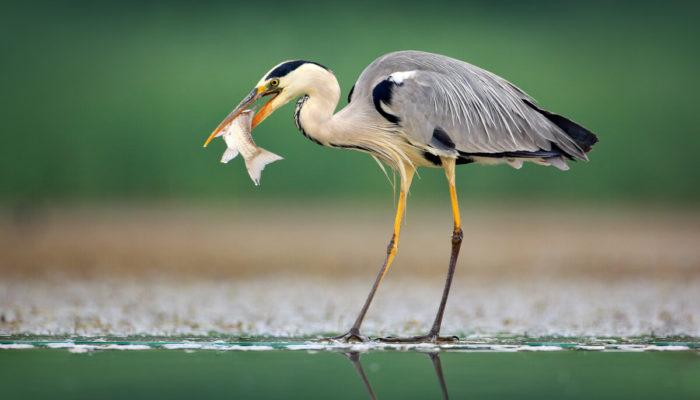 czapla polująca na ryby w oczku wodnym