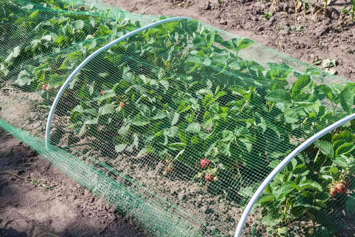 Siatka osłonowa zabezpieczająca truskawki